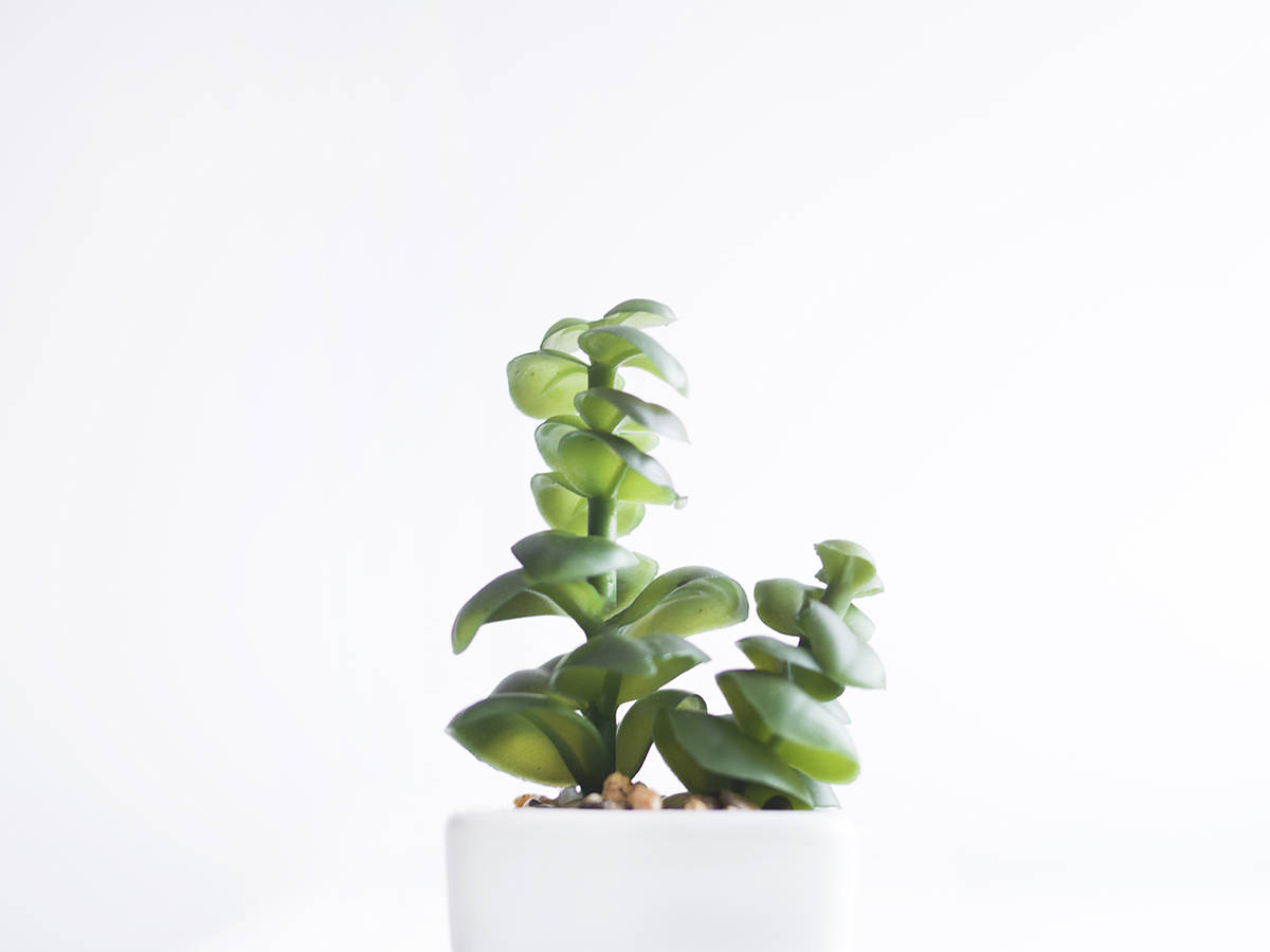 18 varieties of Jade Plants