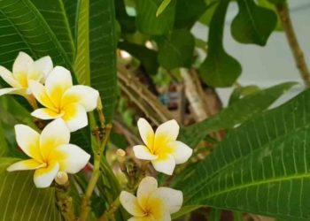 How to Grow a Plumeria/Champa Plant